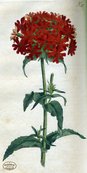 Flowers Pdxc1767 Color Illustration