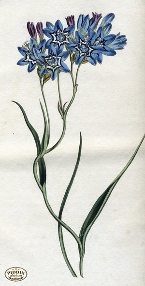 Flowers Pdxc1786 Color Illustration