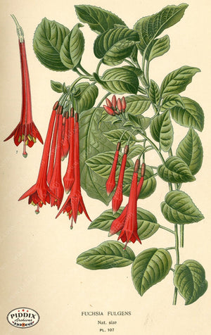 Flowers Pdxc3956 Color Illustration