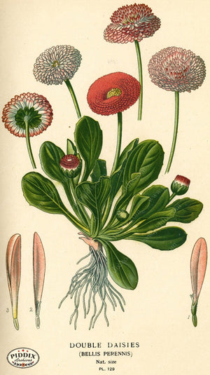 Flowers Pdxc3978 Color Illustration