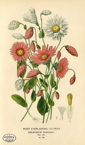 Flowers Pdxc3984 Color Illustration