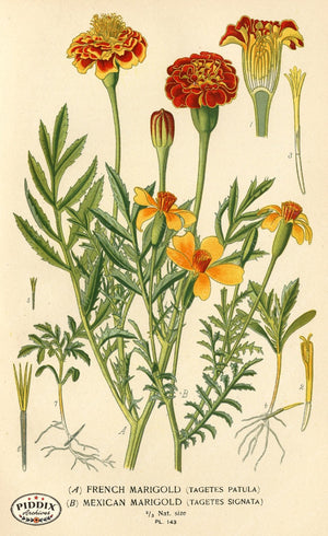 Flowers Pdxc3989 Color Illustration