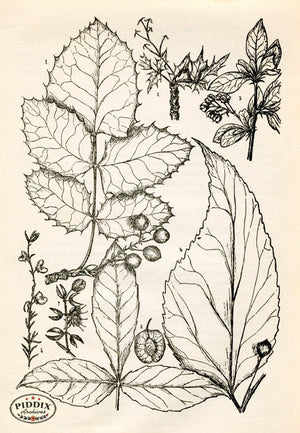 Pdxc11432 -- Black & White Leaves Black & White Engraving