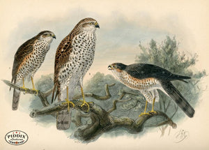 Pdxc1374 -- Birds Color Illustration
