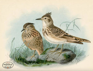Pdxc1426 -- Birds Color Illustration