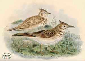 Pdxc1428 -- Birds Color Illustration