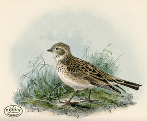 Pdxc1435 -- Birds Color Illustration