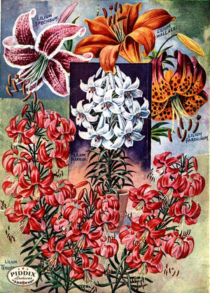 Pdxc1496 -- Flower Seed Catalogs Color Illustration
