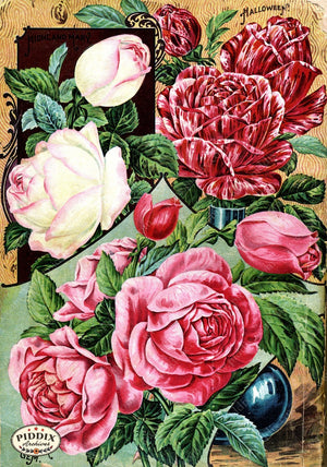 Pdxc1506 -- Vintage Rose Culture Catalogs Color Illustration