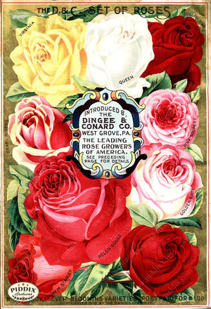 Pdxc1510 -- Vintage Rose Culture Catalogs Color Illustration