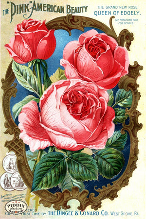 Pdxc1512 -- Vintage Rose Culture Catalogs Color Illustration