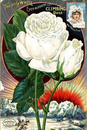 Pdxc1517 -- Vintage Rose Culture Catalogs Color Illustration