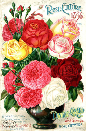Pdxc1519 -- Vintage Rose Culture Catalogs Color Illustration