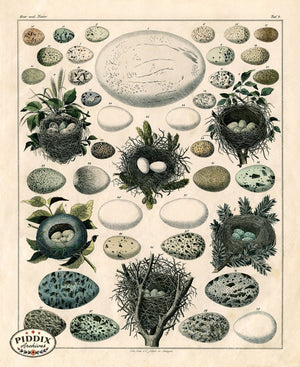 Pdxc15367 -- Bird Eggs Color Illustration