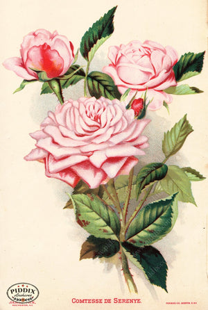 Pdxc1567 -- Vintage Rose Culture Catalogs Color Illustration