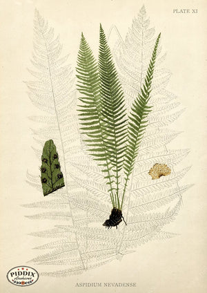 PDXC16443 -- Ferns Black & White Engraving
