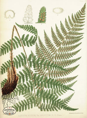 Pdxc16447 -- Ferns Color Illustration