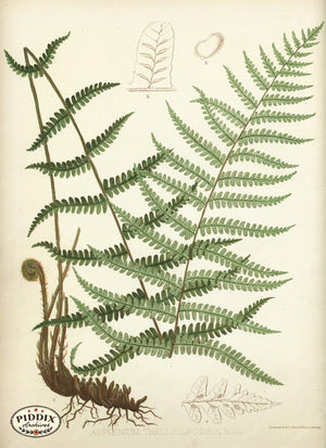Pdxc16449 -- Ferns Color Illustration