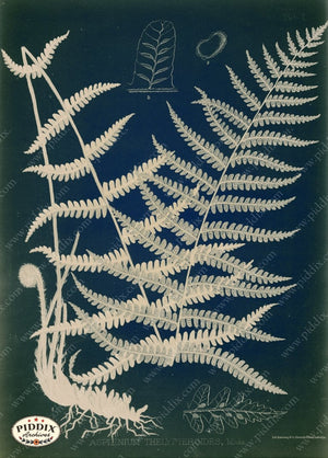PDXC16449c Fern Cyanotypes -- Ferns Original Art