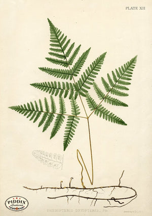 PDXC16450 Ferns -- Ferns Color Illustration