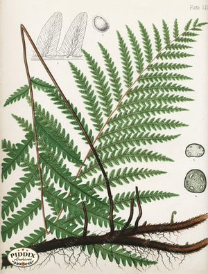Pdxc16451 -- Ferns Color Illustration