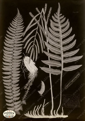 PDXC16452b X-rays -- Ferns Original Art