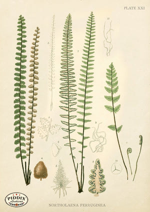PDXC16453 Ferns -- Ferns Color Illustration