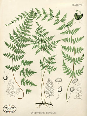 PDXC16454 Ferns -- Ferns Color Illustration
