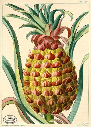 PDXC17022b -- Pineapples Color Illustration
