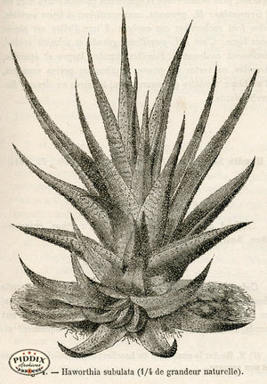 PDXC17532 -- Cacti Desert Flowers & Succulents Black & White Engraving