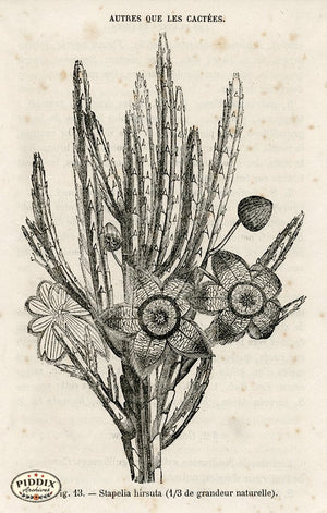 PDXC17539 -- Cacti Desert Flowers & Succulents Black & White Engraving