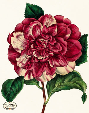 PDXC19260 -- Peonies Color Illustration