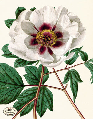 PDXC19262 -- Peonies Color Illustration