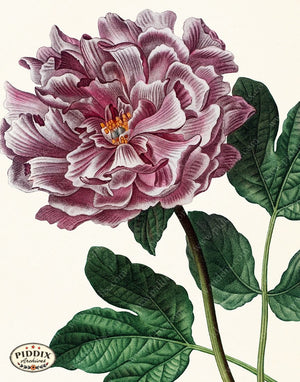 PDXC19266 -- Peonies Color Illustration