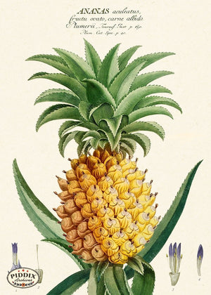 PDXC19308b -- Pineapples Color Illustration