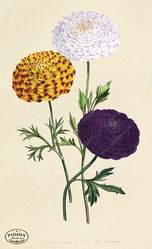 PDXC19316a -- Flowers Color Illustration