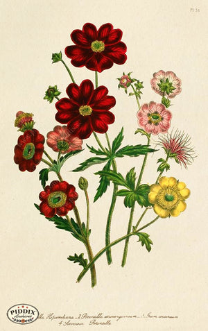 PDXC19325a -- Flowers Color Illustration