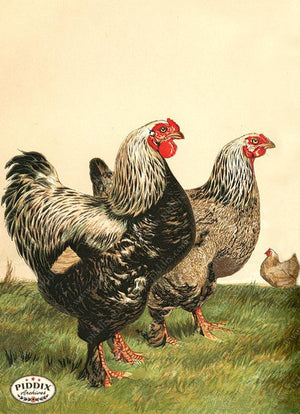 PDXC19386 -- Chickens & Poultry Color Illustration