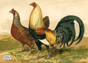PDXC19399 -- Chickens & Poultry Color Illustration