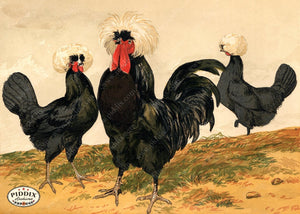 PDXC19404 -- Chickens & Poultry Color Illustration