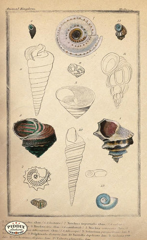 Pdxc2088B -- Seashells Color Illustration