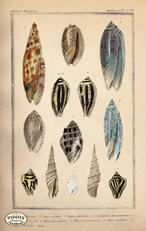 Pdxc2089B -- Seashells Color Illustration