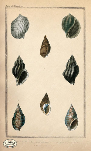 Pdxc2090B -- Seashells Color Illustration