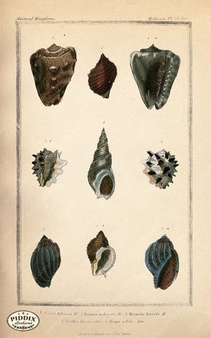 Pdxc2091B -- Seashells Color Illustration