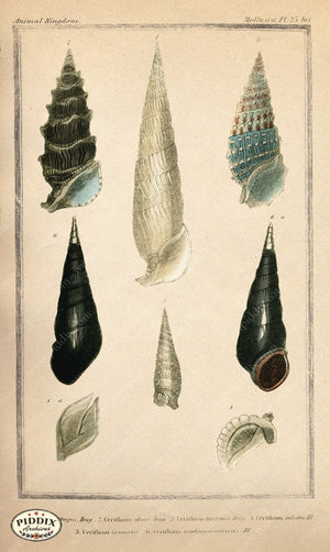Pdxc2092B -- Seashells Color Illustration
