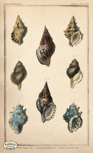 Pdxc2095B -- Seashells Color Illustration