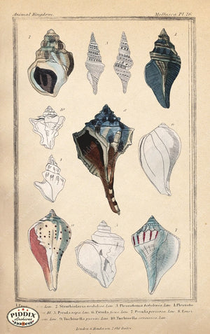 Pdxc2096G -- Seashells Color Illustration