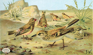 Pdxc2453 -- Birds Color Illustration