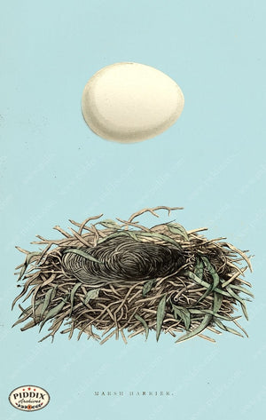 Pdxc2926B -- Bird Eggs & Nests Color Illustration