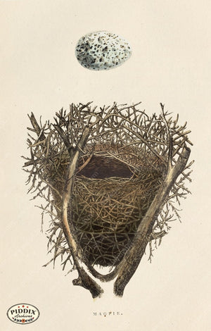 Pdxc2941 -- Bird Eggs & Nests Color Illustration